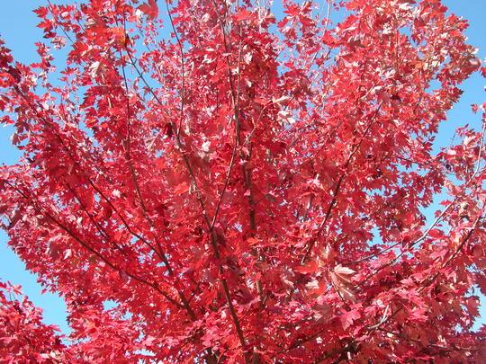 Acer rubrum 39 fairview flame 39 arbres d 39 ornement - Arbres d ornement a feuillage persistant ...