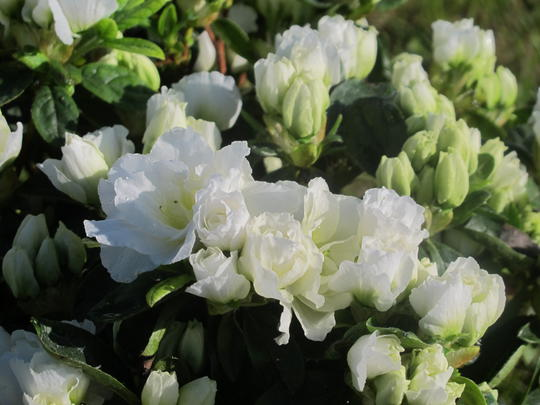 azalea japonica broceliande viviane 39 walsnowruf 39 plantes de terre de bruy re. Black Bedroom Furniture Sets. Home Design Ideas