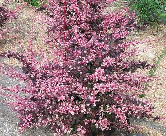 berberis thunbergii 39 rose glow 39 arbustes caducs. Black Bedroom Furniture Sets. Home Design Ideas