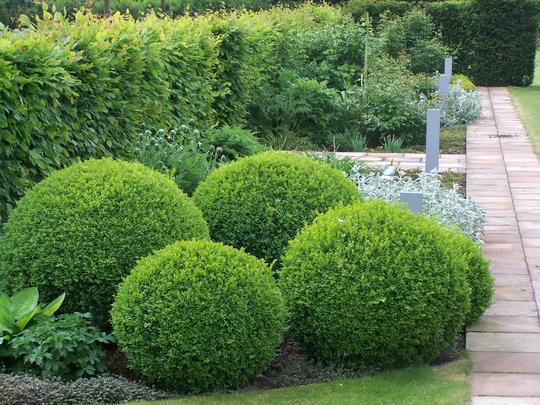buxus sempervirens 39 arborescens 39 buis et topiaires. Black Bedroom Furniture Sets. Home Design Ideas