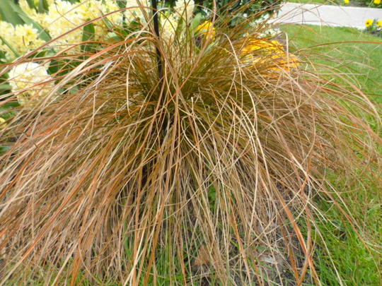 Andr briant the european specialist of ornamental young for Variegated ornamental grass varieties
