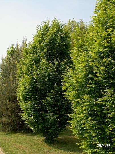 carpinus betulus 39 fastigiata 39 syn 39 pyramidalis. Black Bedroom Furniture Sets. Home Design Ideas