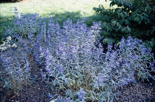 caryopteris x clandonensis 39 heavenly blue 39 arbustes caducs. Black Bedroom Furniture Sets. Home Design Ideas