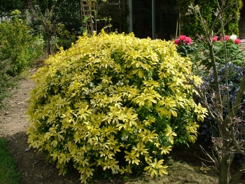 choisya ternata sundance 39 lich 39 arbustes persistants. Black Bedroom Furniture Sets. Home Design Ideas