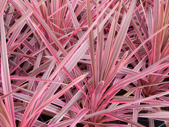 Cordyline australis 39 cherry sensation 39 plantes de climat doux - Cordyline feuilles qui jaunissent ...