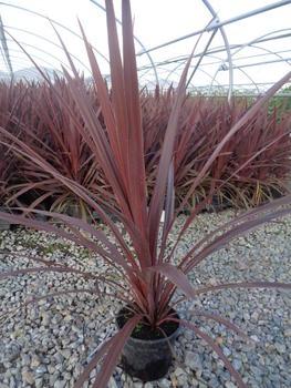 Cordyline australis 39 red star 39 plantes de climat doux - Cordyline feuilles qui jaunissent ...