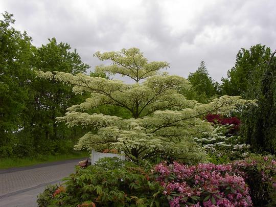 cornus controversa 39 variegata 39 arbustes caducs. Black Bedroom Furniture Sets. Home Design Ideas
