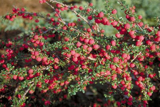 cotoneaster microphyllus 39 streib 39 s findling 39 arbustes couvre sol. Black Bedroom Furniture Sets. Home Design Ideas