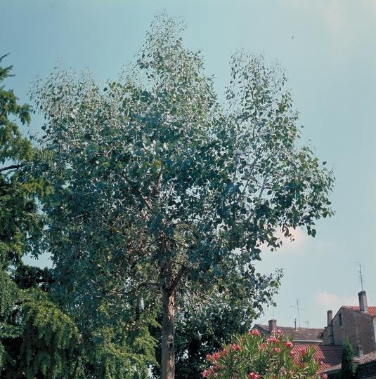 eucalyptus gunnii arbres d 39 ornement. Black Bedroom Furniture Sets. Home Design Ideas