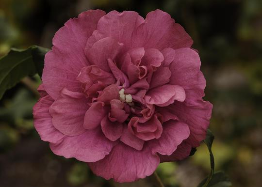 hibiscus syriacus tree