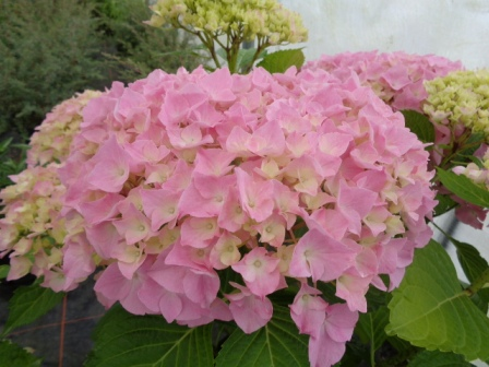 HYDRANGEA macrophylla BELLE SEDUCTION® 'Bodalan'