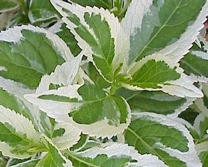 Hydrangea macrophylla 39 tricolor 39 plantes de terre de bruy re for Briant plantes