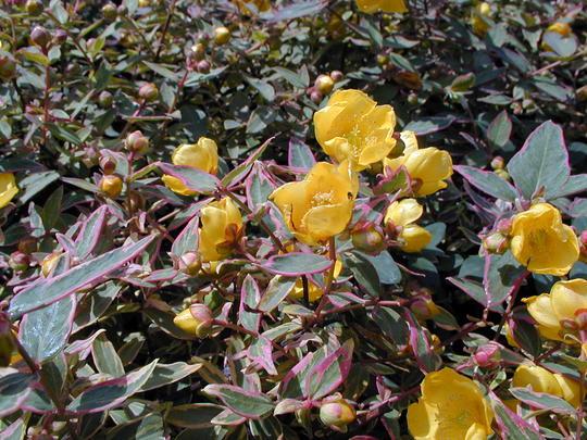 Hypericum moserianum 39 tricolor 39 arbustes couvre sol - Arbustes a feuillage persistant croissance rapide ...