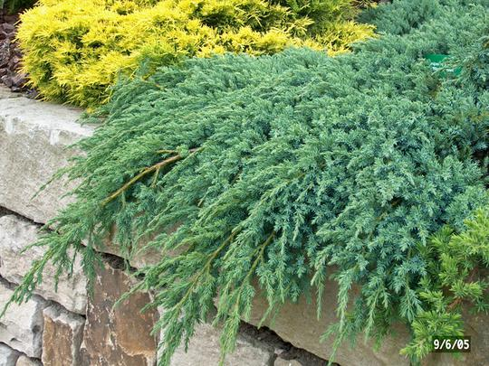 Andr briant the european specialist of ornamental young plants welcome variety range - Juniperus squamata blue carpet ...