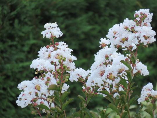 Lagerstroemia indica 39 nivea 39 plantes de climat doux - Lilas des indes blanc ...