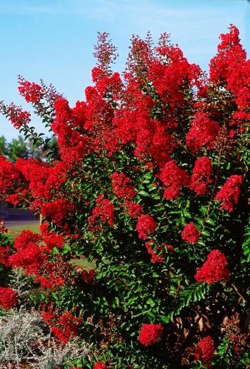 Lagerstroemia indica 39 red imperator 39 plantes de climat doux - Lilas des indes racines ...