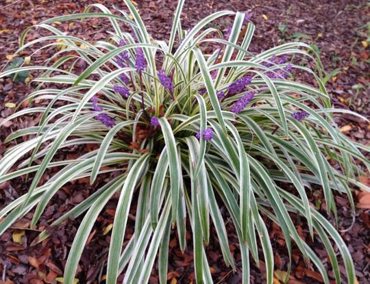 liriope spicata silver dragon plantes vivaces