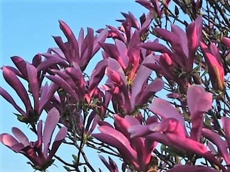 arbre magnolia susan