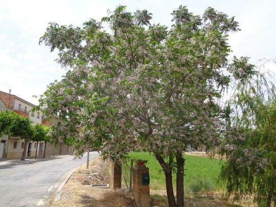 arbre croissance rapide acacia dealbata canothe arbre ou arbuste aux nombreuses bleues arbres. Black Bedroom Furniture Sets. Home Design Ideas