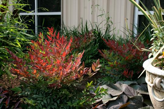 Nandina domestica obsessed 39 seika 39 arbustes persistants - Bambou sacre fire power ...