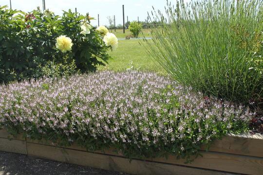 parahebe 39 kenty pink 39 plantes vivaces. Black Bedroom Furniture Sets. Home Design Ideas