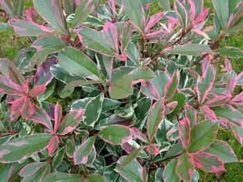 Planter haie photinia