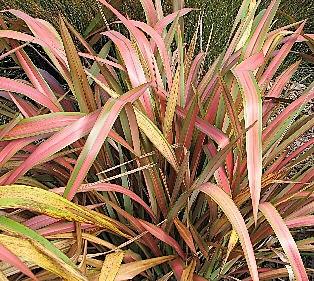 phormium 39 jester 39 syn 39 emerald pink 39 plantes de climat doux. Black Bedroom Furniture Sets. Home Design Ideas