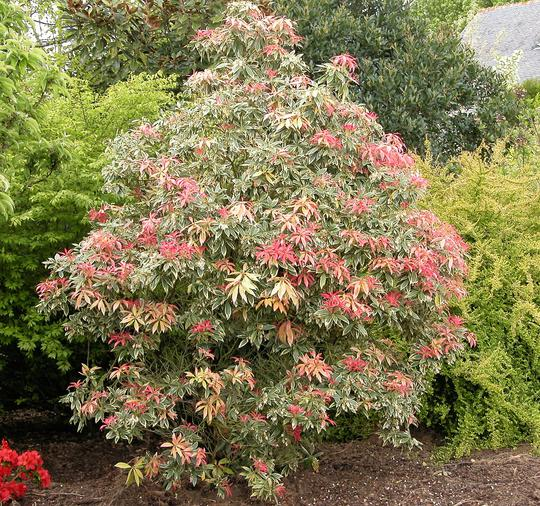 PIERIS japonica 'Flaming Silver' - Plantes de terre de bruyère