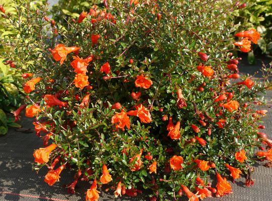 punica granatum 39 nana gracilissima 39 arbustes caducs. Black Bedroom Furniture Sets. Home Design Ideas