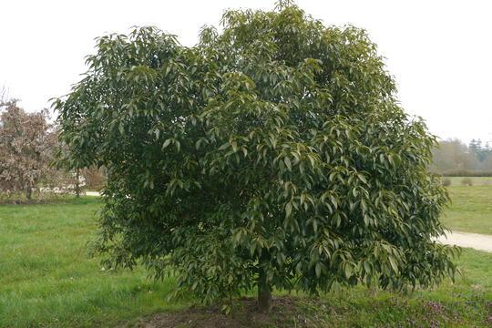 Quercus myrsinifolia arbres for Arbres a feuilles persistant