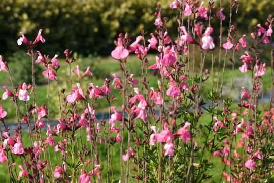 salvia x suncrest 39 flamenco rose 39 plantes de climat doux. Black Bedroom Furniture Sets. Home Design Ideas