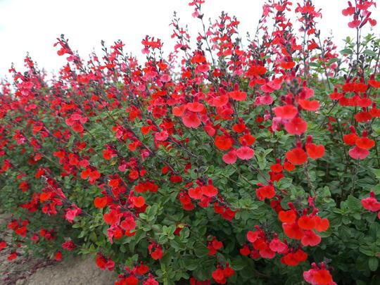 Salvia microphylla 39 royal bumble 39 plantes de climat doux - Planter de la sauge ...