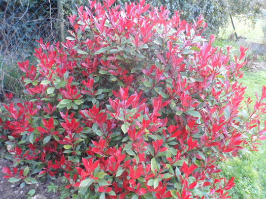 photinia fraseri 39 little red robin 39 arbustes persistants. Black Bedroom Furniture Sets. Home Design Ideas