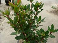 ARBUTUS unedo 'Atlantic'