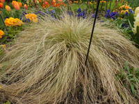 CAREX X 'Frosted Curls'