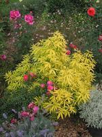 choisya ternata aztec gold 39 hilgold 39 arbustes. Black Bedroom Furniture Sets. Home Design Ideas