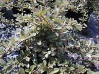 cotoneaster dammeri 39 eichholtz 39 arbustes couvre sol. Black Bedroom Furniture Sets. Home Design Ideas