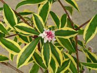 Daphne odora 39 maijina 39 arbustes caducs for Arbuste daphne odora aureomarginata