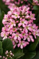 ESCALLONIA laevis PINK ELLE 'Lades'