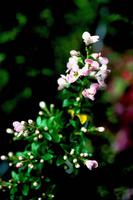 ESCALLONIA 'Apple Blossom'