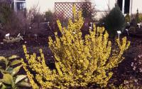 FORSYTHIA intermedia MELEE D'OR ® 'Courtaneur'