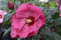 HIBISCUS moscheutos SUMMERIFIC® 'Berry Awesome'