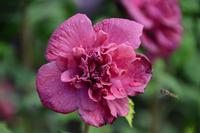 HIBISCUS syriacus FRENCH CABARET® RED 'Mindour1'