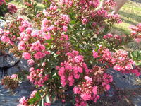 LAGERSTROEMIA indica PINK ALL THE BEST® 'Congrabel'