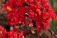 LAGERSTROEMIA indica BLACK SOLITAIRE® 'Best Red'