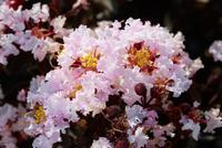 LAGERSTROEMIA indica BLACK SOLITAIRE® 'Blush'