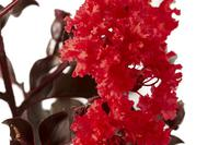 LAGERSTROEMIA indica BLACK SOLITAIRE® 'Red Hot'