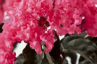 LAGERSTROEMIA indica BLACK SOLITAIRE® 'Shell Pink'