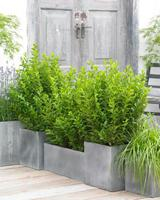 LIGUSTRUM ovalifolium 'Green Diamond'