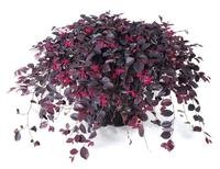LOROPETALUM chinense RUBY RUNNER '2010.009'